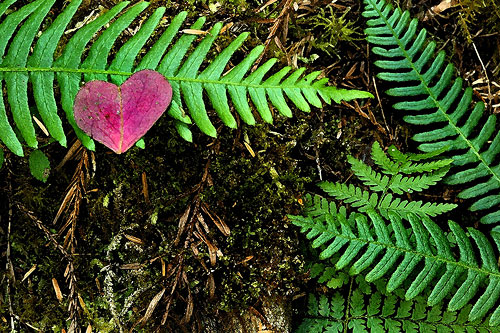 Redwood_sorrel_heart