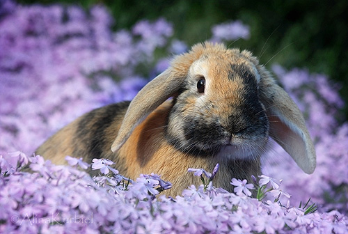 Rabbit in Spring